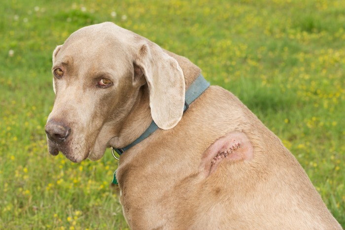 The cut on this dog's shoulder received attention as soon as it arrived at the animal hospital