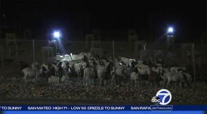 Rogue goats highway 24 6.1..16