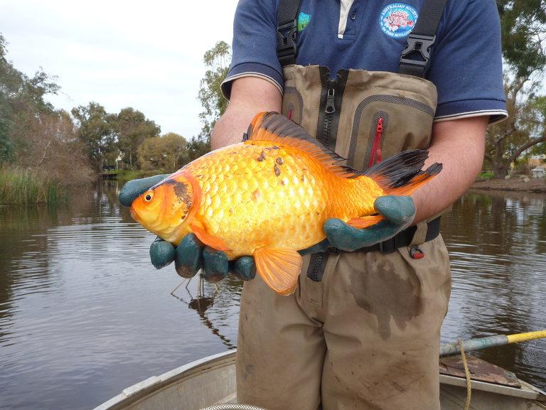 23goldfish-master768-jpg-9-28