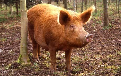 Tamworth Pigs The Complete Guide Everything You Need To