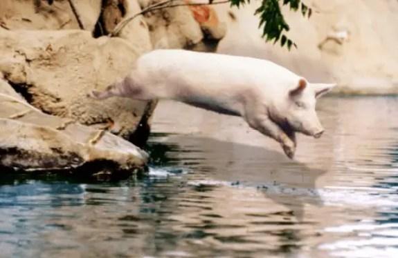 Do Pigs Like to Swim? | Pet Pig World