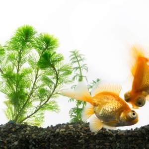 底にいる金魚