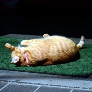 猫がかかりやすい病気