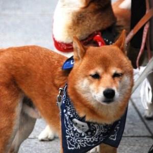 柴犬と秋田犬との違い
