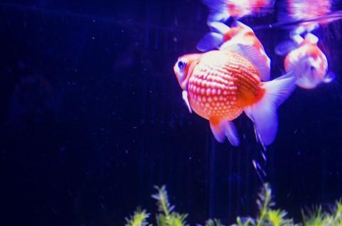 金魚が浮いてくる時に考えられる理由【転覆病、消化不調、弱っているなど】