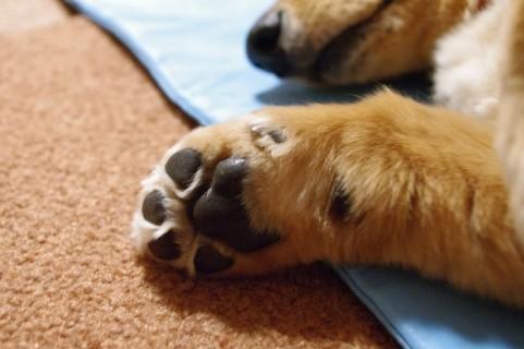 犬が足先をぺろぺろとなめる理由5つ