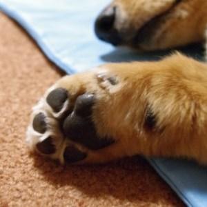 犬が自らの足先をぺろぺろとなめる理由