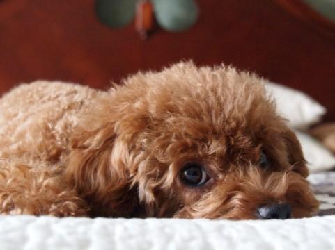 吠えない犬種7種。室内でも飼いやすい穏やかな犬達