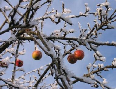 IMG_0070.winteraepfel.02