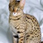 Savannah Cat- The Largest Domestic Cat
