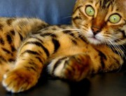 The Bengal-one of the most popular cat breeds with a wild history