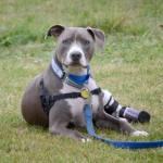 Puppy found nailed to railroad tracks grows up to be a therapy dog for children amputees
