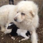 Farm dog becomes guardian angel for baby goat