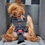 Podcast-How to Keep a Nervous Dog Calm While Traveling-