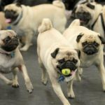 5 Things You Should Know About the Pug Life