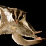 What You Need For a Sugar Glider