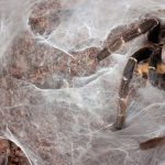 Creepy-crawly! How Long does a Pet Tarantula Live?