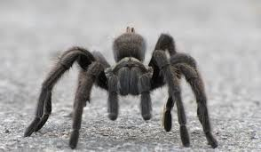 Creepy Crawly How Long Does A Pet Tarantula Live Pet