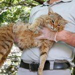New Cat Specie Found on Island of Corsica