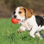 Top Tips for Looking After Your Beagle's Diet