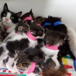Cat gives birth to 11 healthy kittens