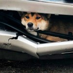 Dog Hit by a Car and Trapped Under Bumper for Miles Afterward