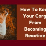 How To Keep Your Corgi From Becoming Reactive