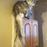 Five Gorgeous Fluffy Cat Tail Pics