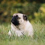 Common Health Issues For Flat-Faced Dogs