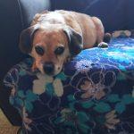 My Dog Has Cushings- Now What?