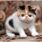 Why You Must Have an Exotic Shorthair Cat