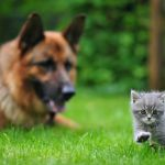 Training a German Shepherd to Live With A Cat