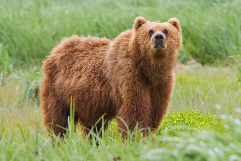 2010-kodiak-bear-1