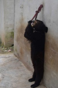 Baby bears being trained for circus 4