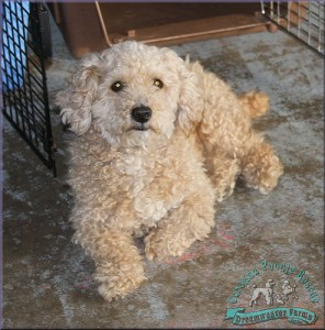 Carolina Poodle Rescue