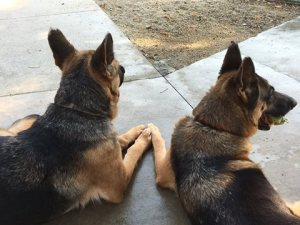 the Barbie German shepherds