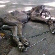 great-dane-left-to-starve