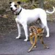 pit-bull-rescues-fawn