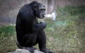 chimp-smoking-2