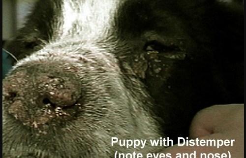 distemper-puppy
