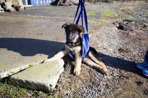 Paralyzed German shepherd puppy
