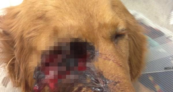 Golden retriever puppy shot in the eye