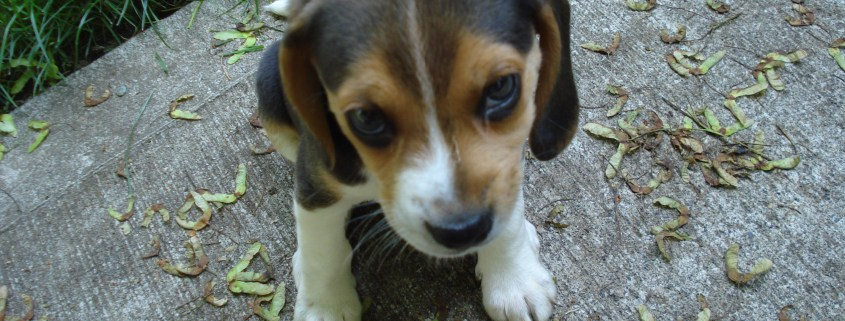 Man accused of killing his beagle puppy