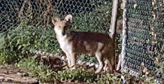 wild-coyote-killed