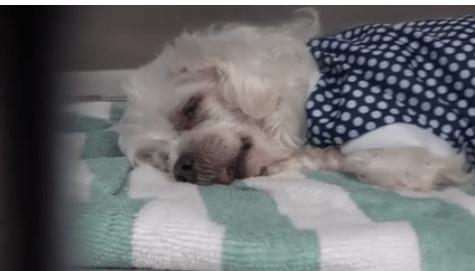 Dejected senior dog