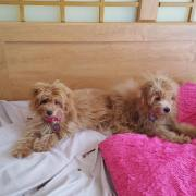 Dogs stolen by pet sitter