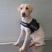 Stray dog wearing service vest found