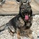 Retired military working dog missing in California