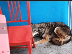 Coyote put down