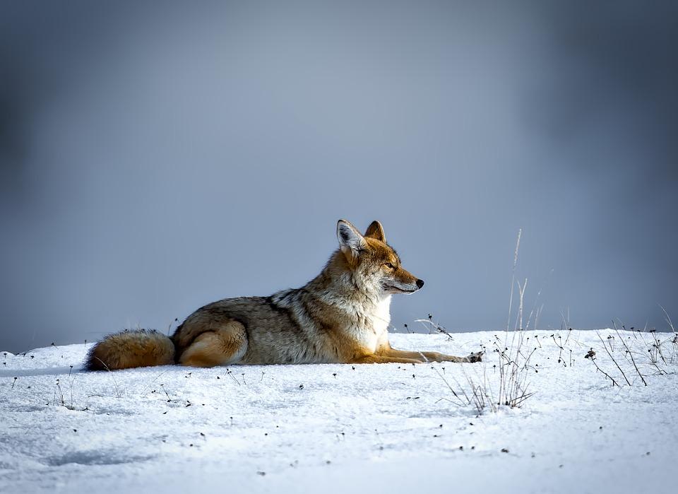 coyote-1730060_960_720